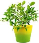 GrowScripts 1-Gallon Cocktail Citrus Limon Meyer and Aurantifloria Tree