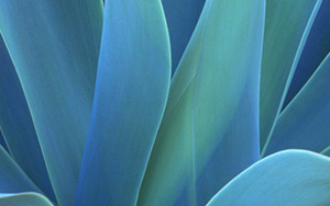 agave  The Biofuel Race - First Algae, Now Tequila
