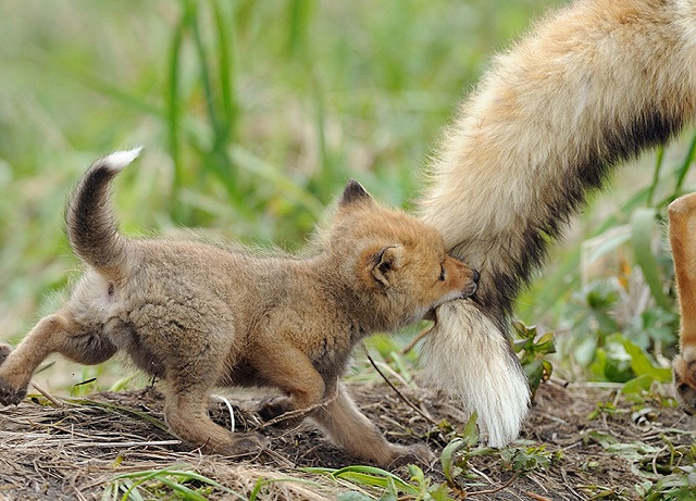 fox-photos-mobilemag-6 Fox Photography: It's Time To Fall In Love With Foxes