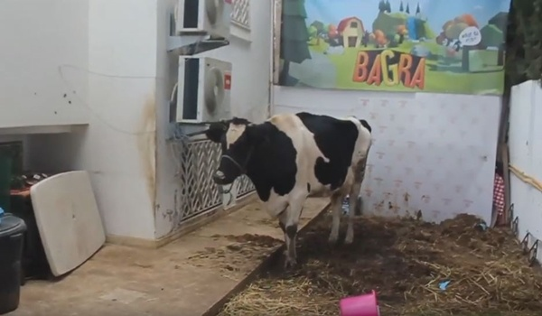 Want to win a cow? Try out this mobile game - Bagra 25