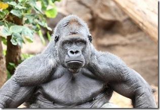 gorilla_proud