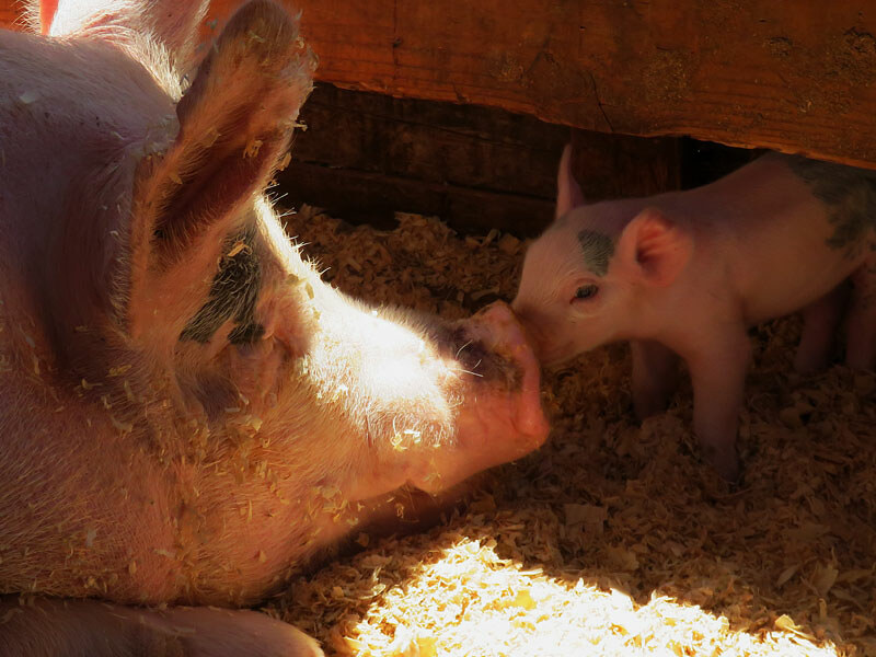 sow and piglet nose to nose in dark