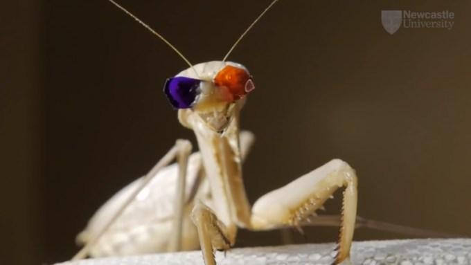 Modliszka w okularach 3D - widzenie Stereo (Newcastle University)