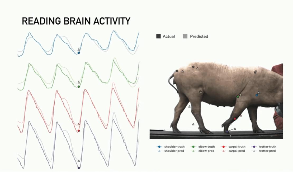 Śledzenie aktywności mózgu świni za pomocą interfejsu mózg-maszyna