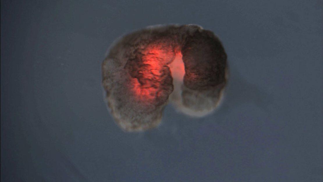 Ksenobot – żywy robot stworzony z komórek żaby