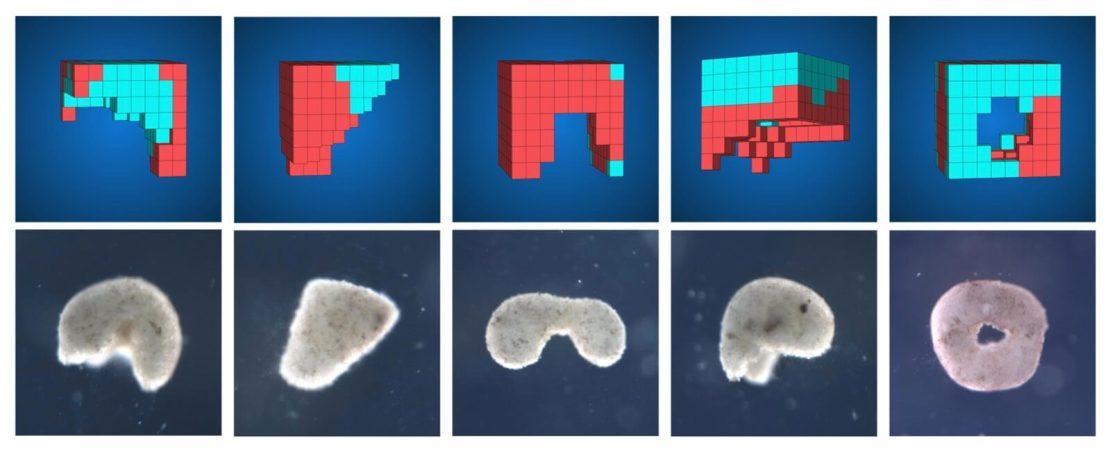 Przykłady modeli ksenobotów