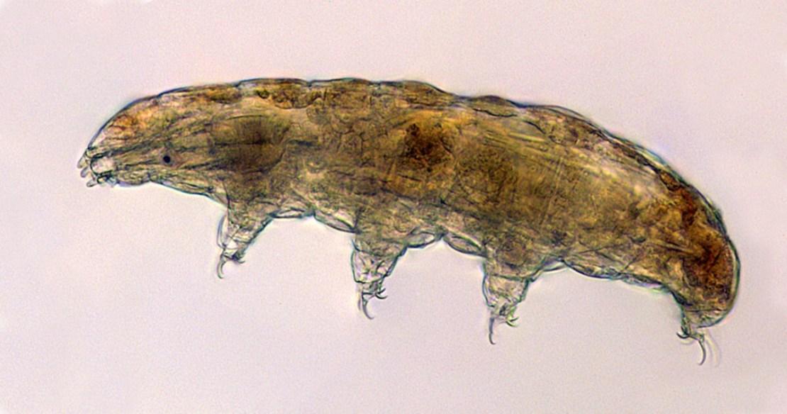 Niesporczak (fot. Thomas Boothby, University of Wyoming)