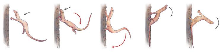 Ilustracja techniki lądowania gekona