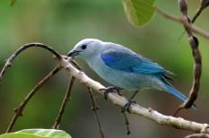 """""""Azulejo"""", ave en el PN Cerro Azul Meámbar"""