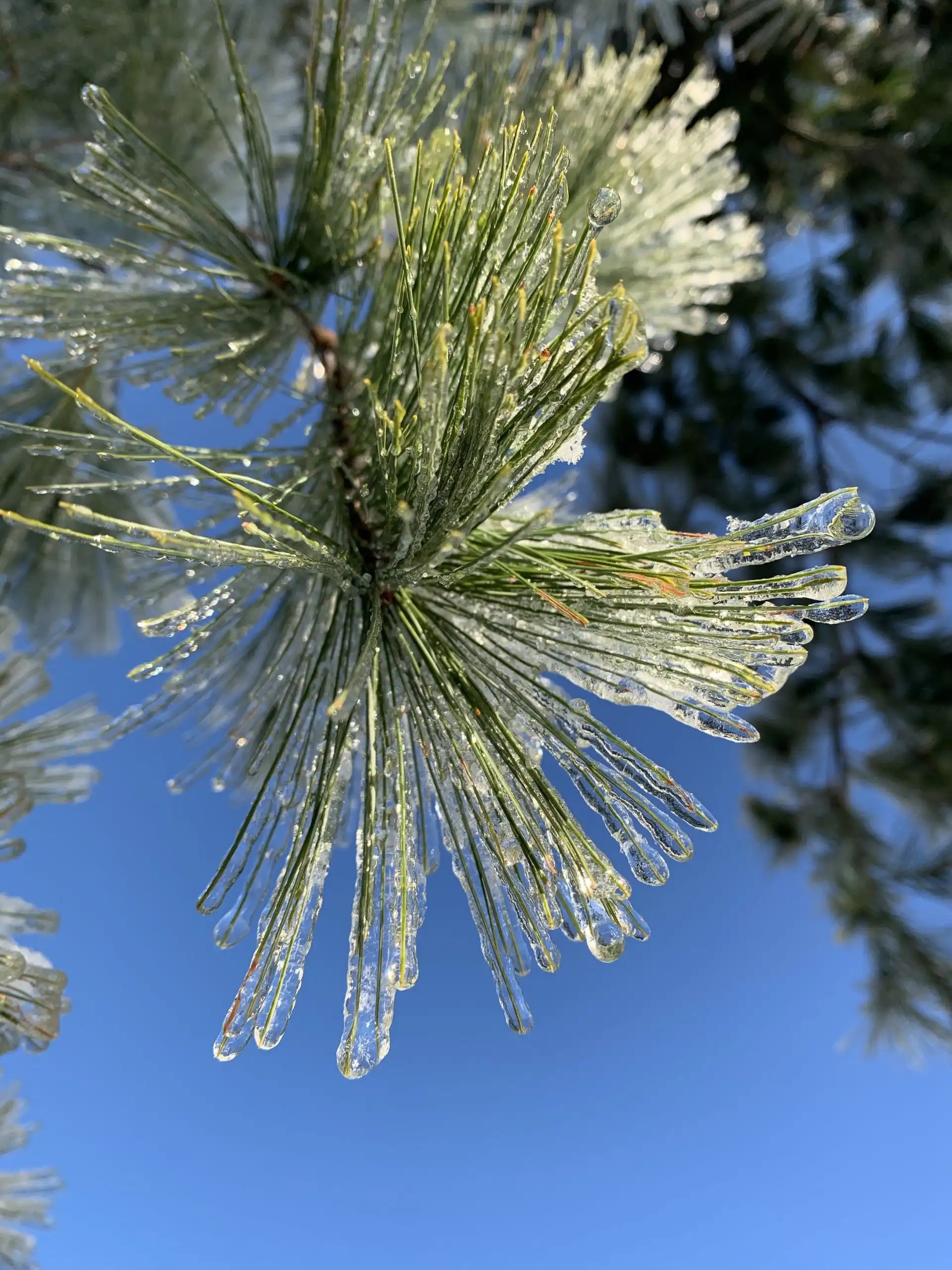 iPhone XS Max photography example: Frozen pine needles set against blue sky