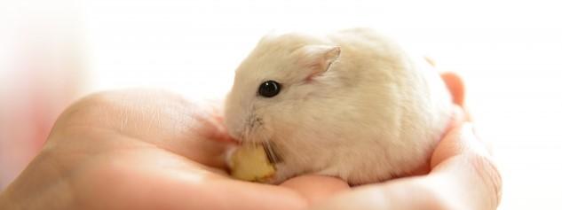 餌を食べるハムスターの画像