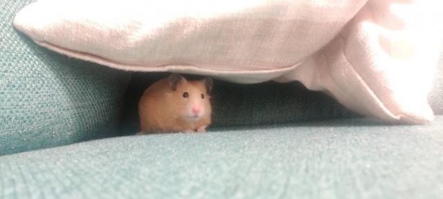 隠れるハムスター