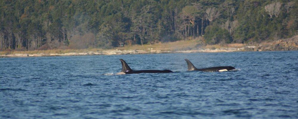 Islas-San-Juan-avistamiento-orcas-mar-abierto