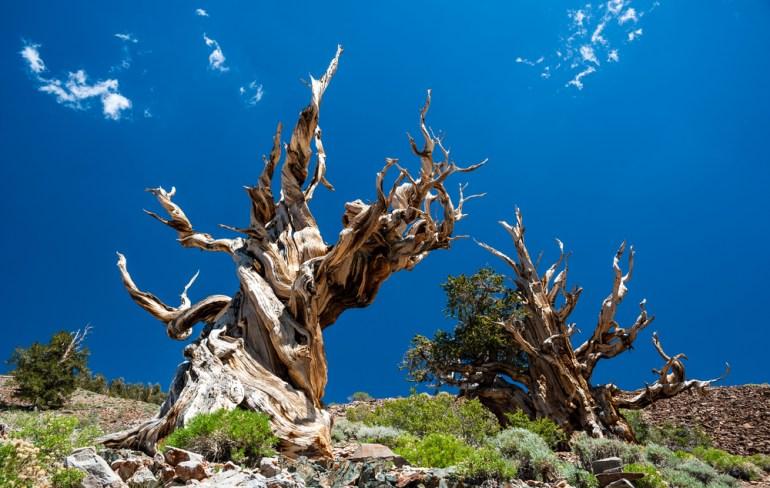 5,065 year old tree, California
