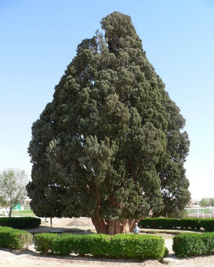 a 4000 year old tree, North Wales, Iran