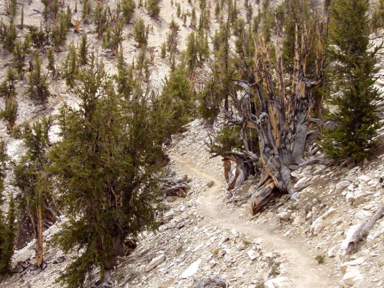 4,847-year-old tree, California