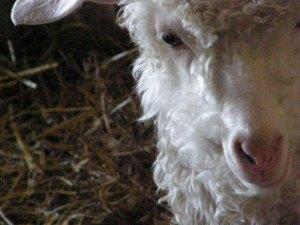 Chèvre angora qui fournit le mohair