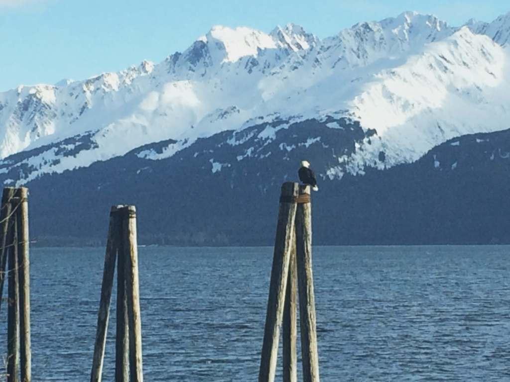Bald Eagle, Explore Seward, Alaska