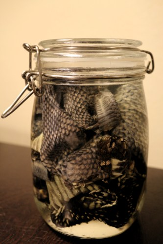 Rattlesnake skin just placed in tanning solution