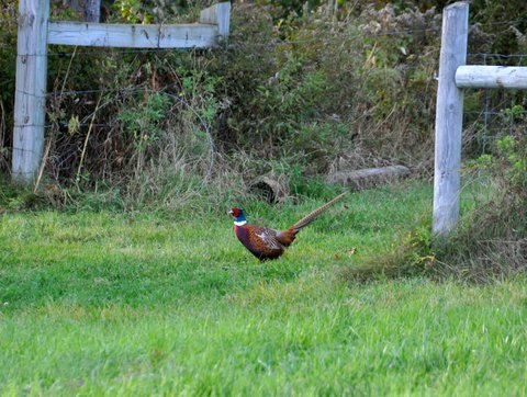 A pheasant in early fall.