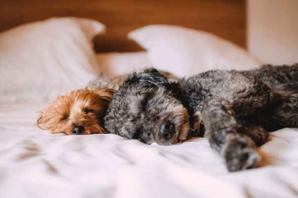 two short coated gray and brown puppies lying on white textile