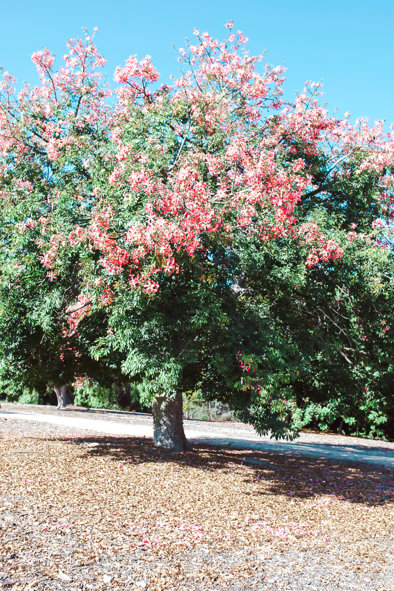 California Vacation Ideas for a Momcation in Orange County by popular Nashville travel blog, Modern Day Moguls: image of a tree with pink flowers on it.