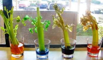 Celery Leaves Experiment Modern Day Moms