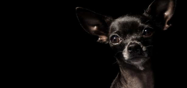 15 Funny Chihuahua Memes That Will Make Your Day The Paws