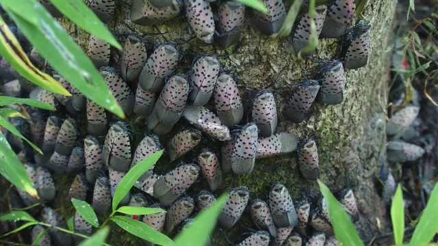 A mass of adult spotted lanternflies.