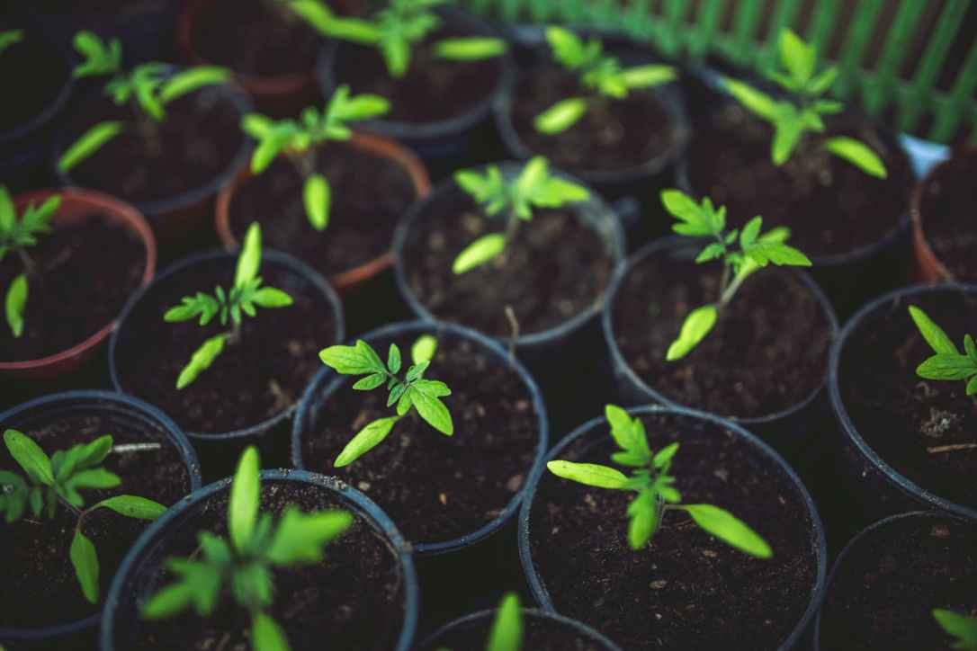 tomato seedlings in pots indoor growing vegetables