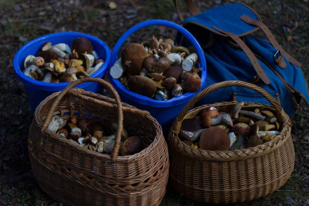 foraged mushrooms in baskets