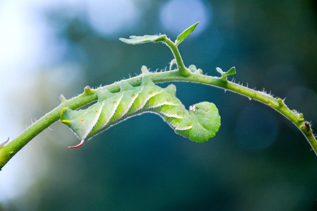 Tomato Hornworm on plant