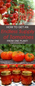 How to get an endless supply of tomatoes from one plant!