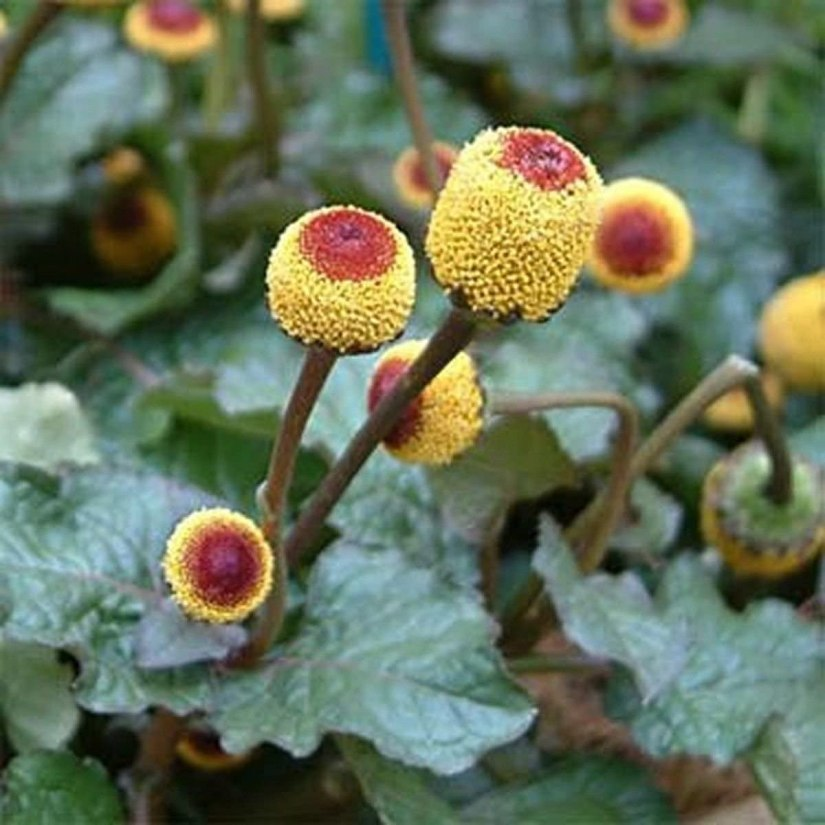 Toothace Spilanthes Plant