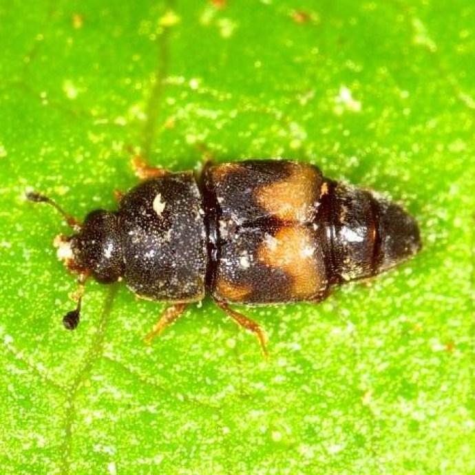 Driedfruit Beetle