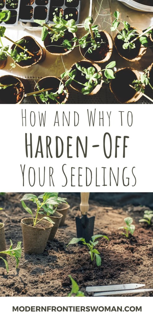How and why to harden off your seedlings