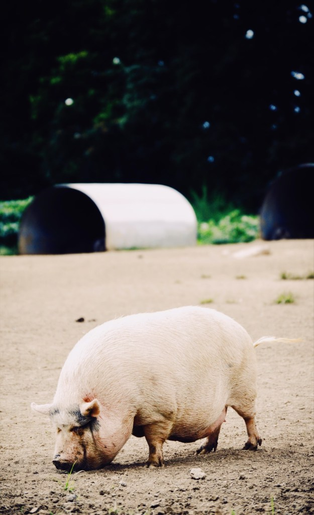 Pig Tunnel House