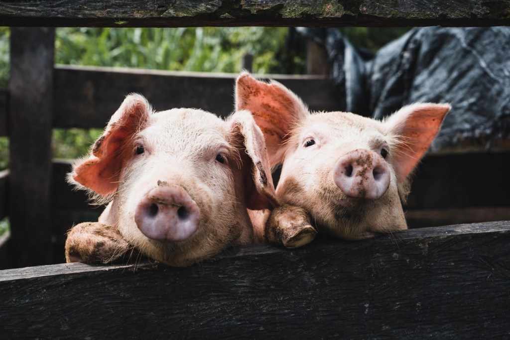Pigs in Fence