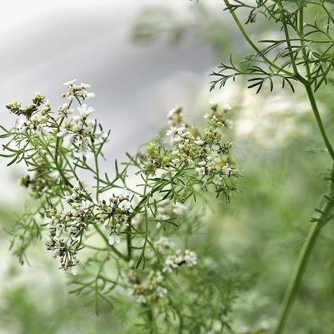 Cilantro/Corinader Plant