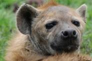 Tanzania, Ngorongoro Kratern 2008. Hyena
