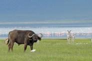 Tanzania, Ngorongoro Kratern 2008. Buffel
