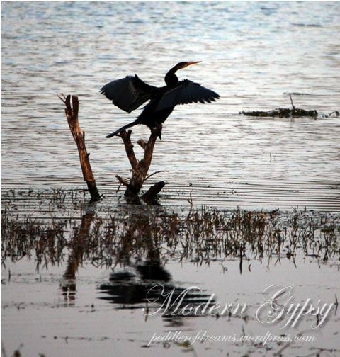 Darter_Bharatpur Bird Sanctuary