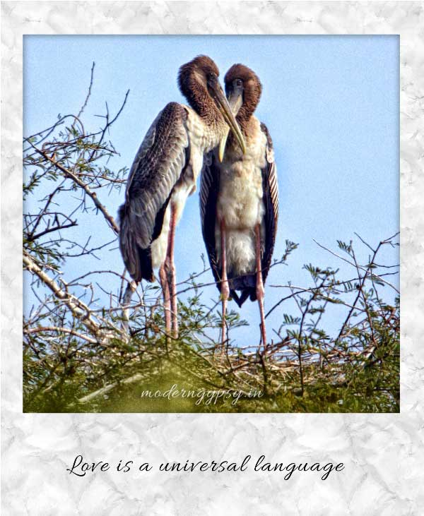 Love is a universal language: Birds in love, Bharatpur Sanctuary, Rajasthan, India