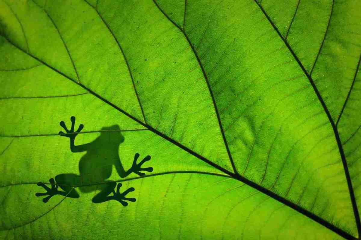 Heilung dank Kambô-Froschmedizin