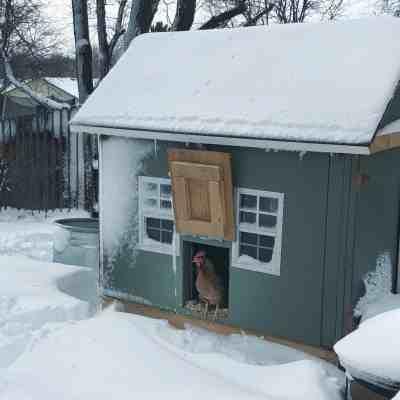 Winter Chicken Care