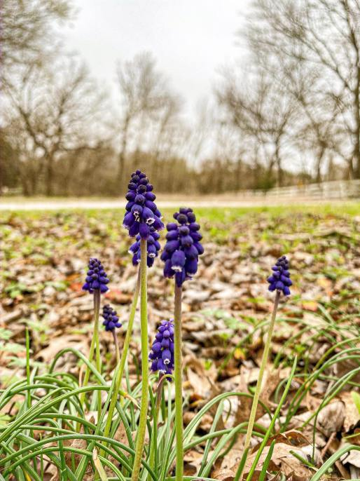 Wild Grape Hyacinth Blossoms