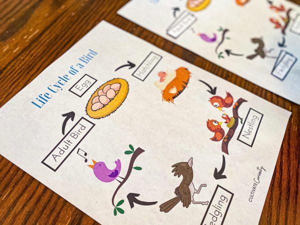 Bird Life Cycle Worksheet - Bird Nature Study