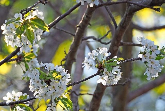 cherry-blossom-3397354_640