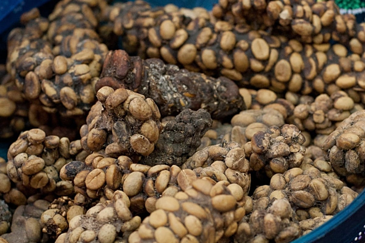 Image result for kopi luwak farm