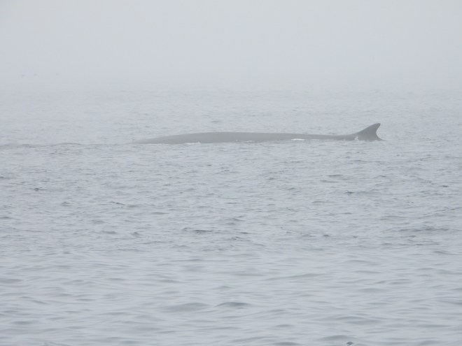 A fin whale swims along the surface on a foggy day in Witless Bay. Photo by Jeannine Winkel.